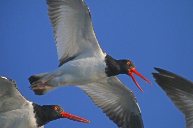 American Oystercatchers close
