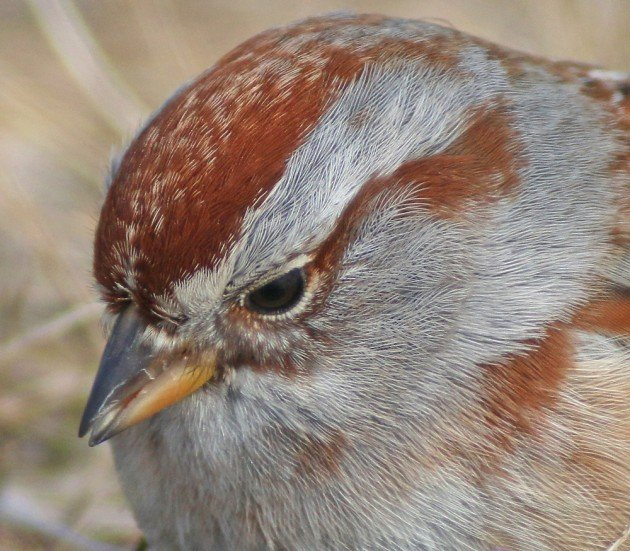 American Tree Sparrow portrait