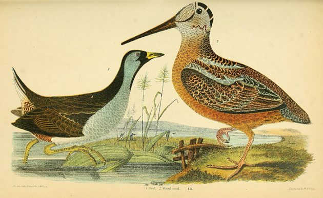 AmericanWoodcock The_natural_history_of_the_birds_of_the_United_States