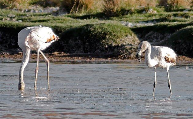 Andean Flamingo Juvenile
