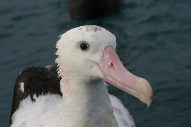 Antipodean-Albatross-1024x682