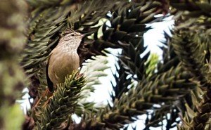 Araucaria Tit-Spinetail On Araucaria Tree
