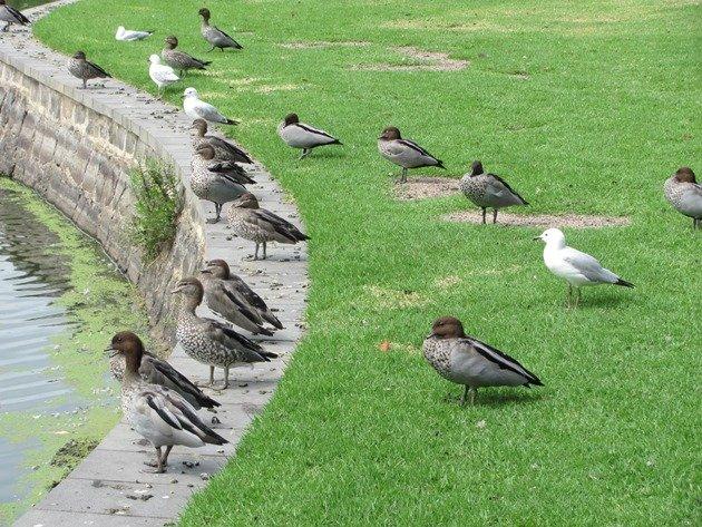 Australaian Wood Ducks & Silver Gulls