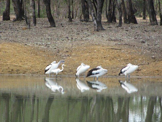 Australain Pelicans & Great Egret