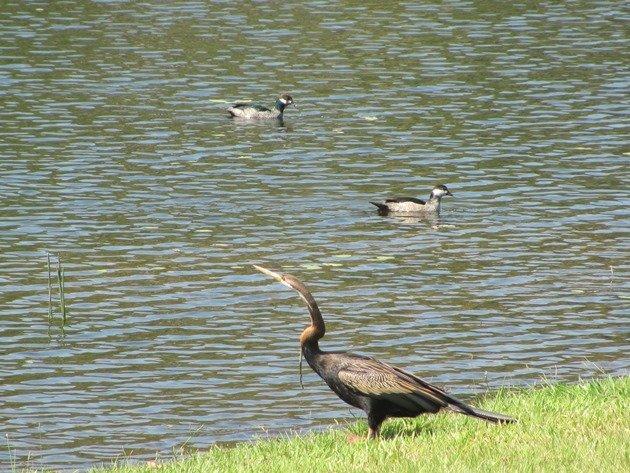 Australasian Darter & Green Pygmy-geese