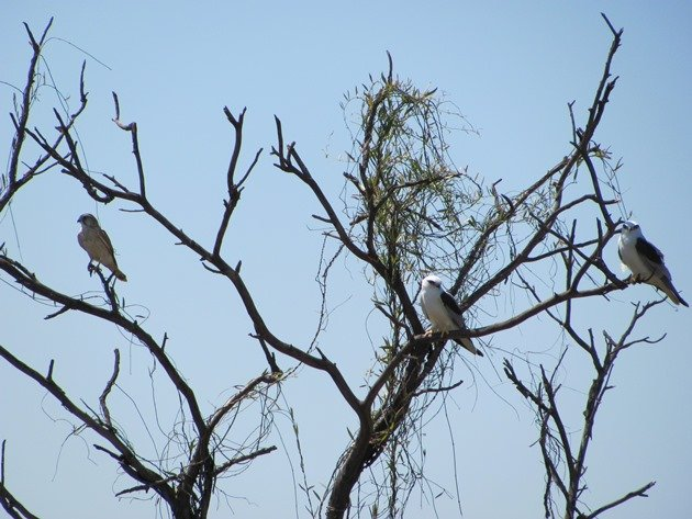 Australian Kestrel & Black-shouldered Kites
