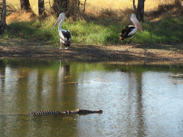 Australian Pelican & crocodile