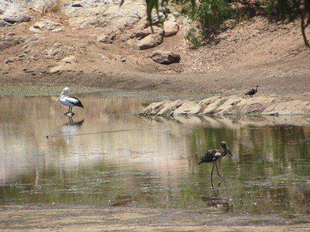 Australian Pelican,Black-necked Stork & Straw-necked Ibis