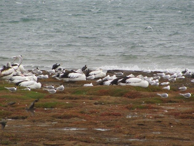 Australian Pelican,Silver Gulls,Crested Terns,Little Pied Cormorants & Starlings