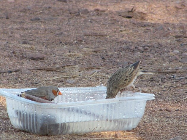 Australian Pipit and Zebra Finch (2)