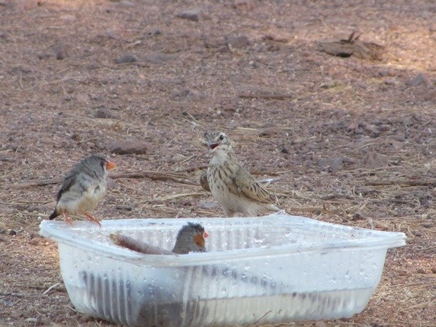Australian Pipit and Zebra Finch (3)
