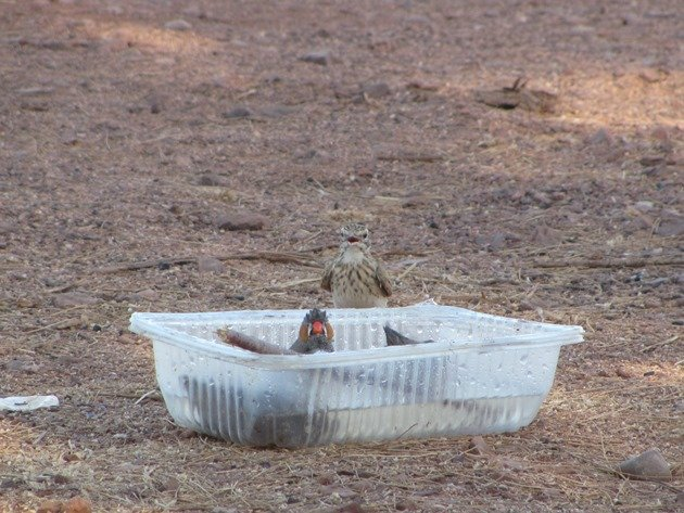 Australian Pipit and Zebra Finch (4)