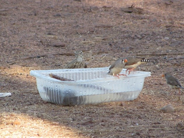 Australian Pipit and Zebra Finch
