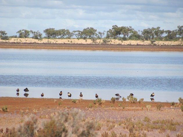 Australian Shelducks
