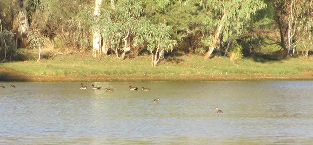 Australian Wood Ducks,Grey Teal and Austrlasian Grebe
