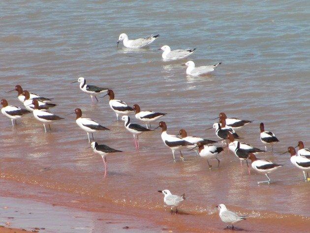 Avocet, Stilt & Silver Gulls (2)