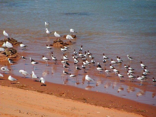 Avocet, Stilt & Silver Gulls (3)