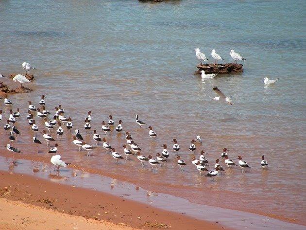 Avocet, Stilt & Silver Gulls (4)