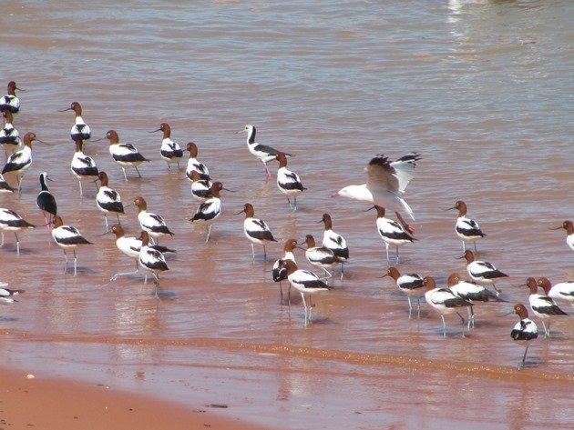 Avocet, Stilt & Silver Gulls (5)