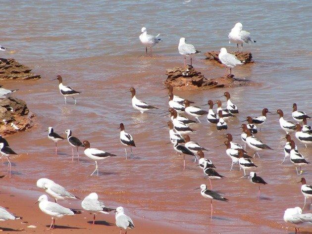 Avocet, Stilt & Silver Gulls (7)