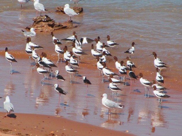 Avocet, Stilt & Silver Gulls (8)