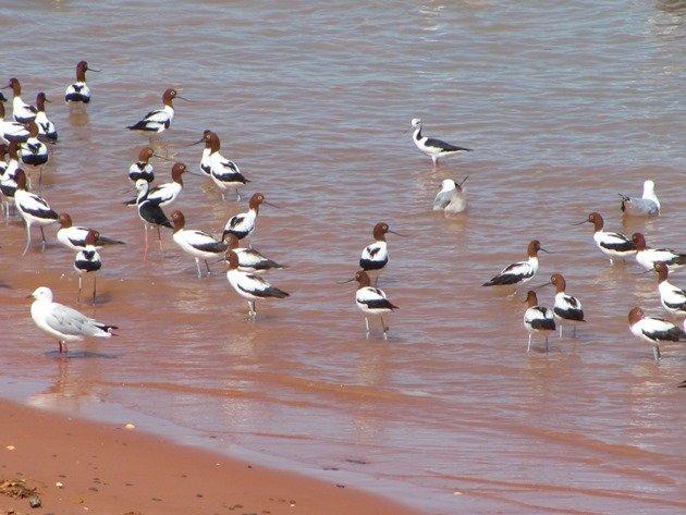 Avocet, Stilt & Silver Gulls (9)