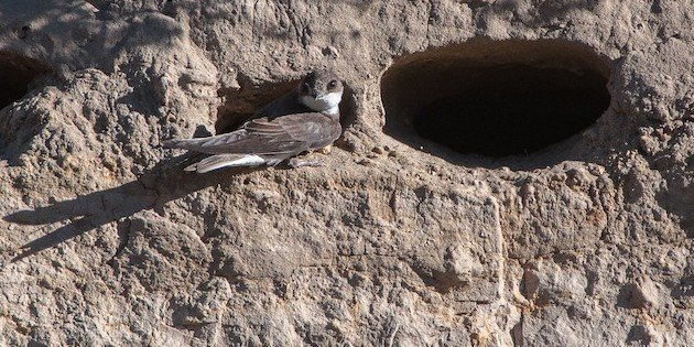 The Bank Swallow Is On the List of Common Birds in Steep Decline