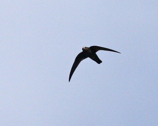 Black Swift At Burney Falls