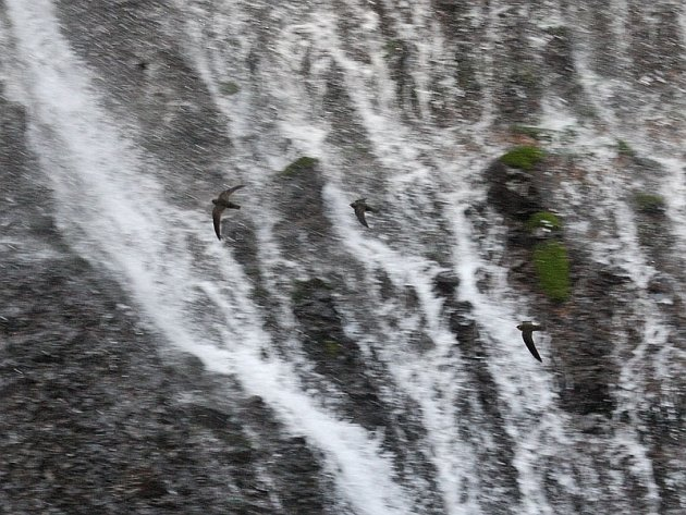 Black Swifts At Burney Falls