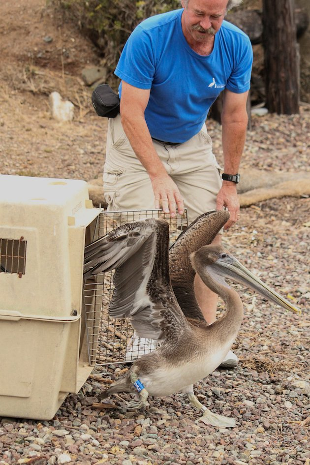 Brown Pelican Release