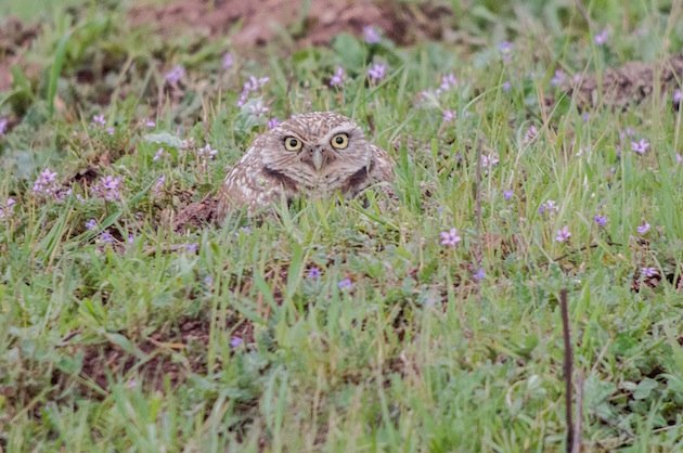 Burrowing Owl at Tuscan Preserve