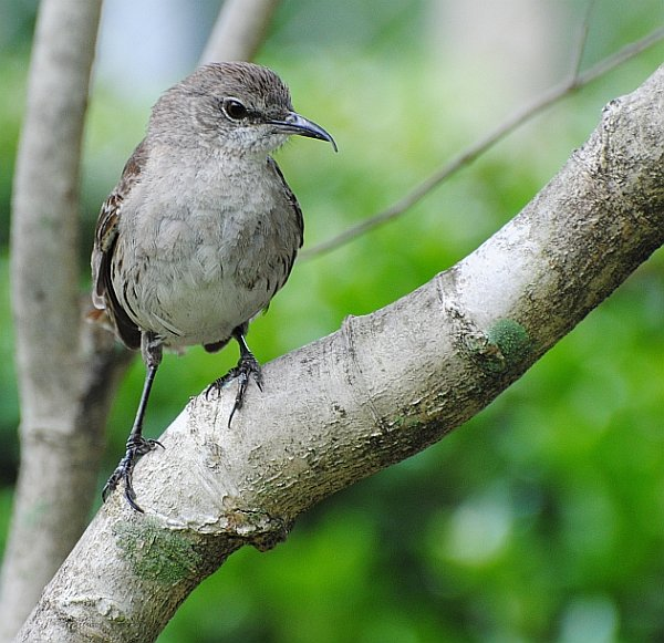 Bahama Mockingbird 18 May 2014B