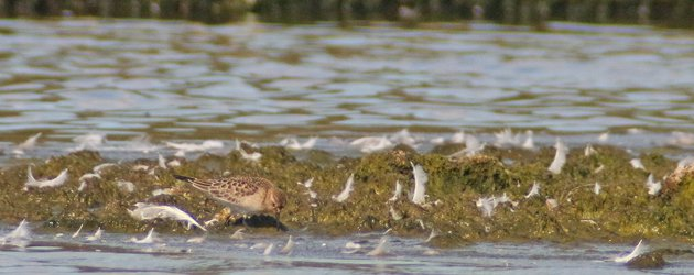 Baird's Sandpiper at Jamaica Bay Wildlife Refuge