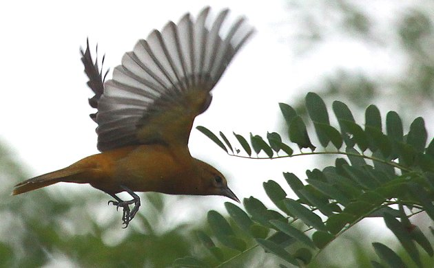 Baltimore Oriole flycatching