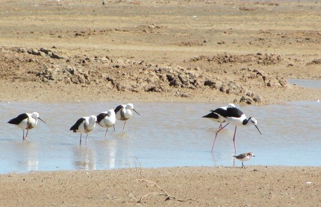 Banded & Black-winged Stilt (3)
