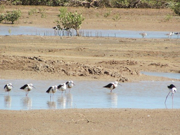 Banded & Black-winged Stilt (5)
