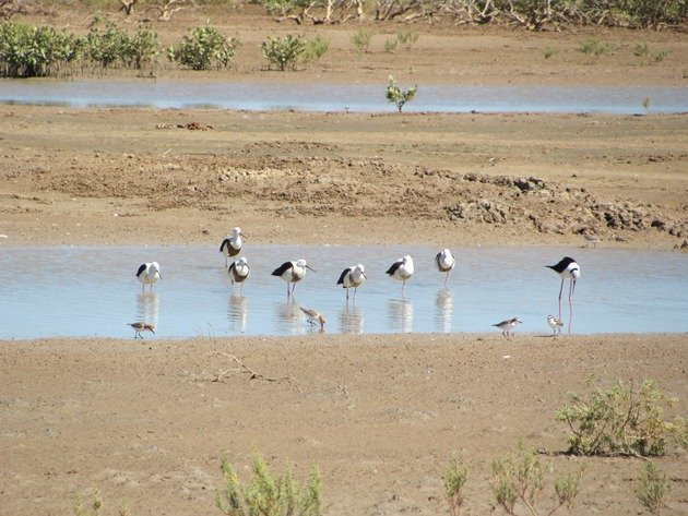 Banded & Black-winged Stilt (6)