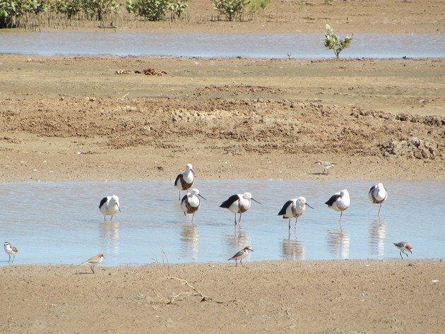 Banded & Black-winged Stilt (7)