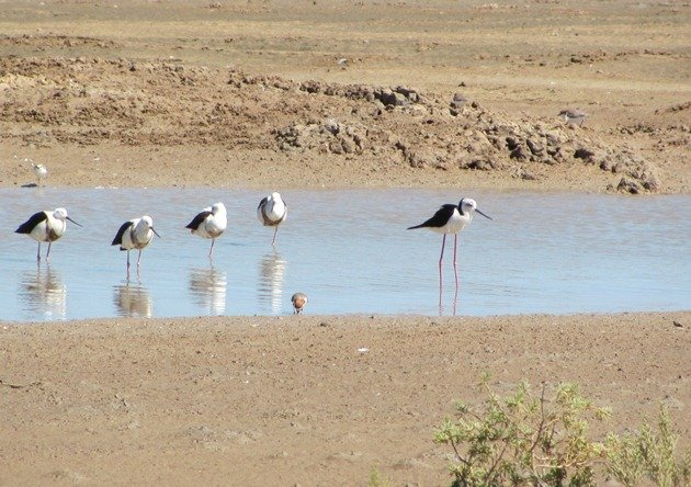 Banded & Black-winged Stilt (8)