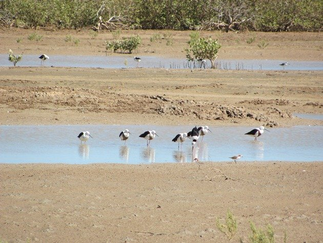 Banded & Black-winged Stilt