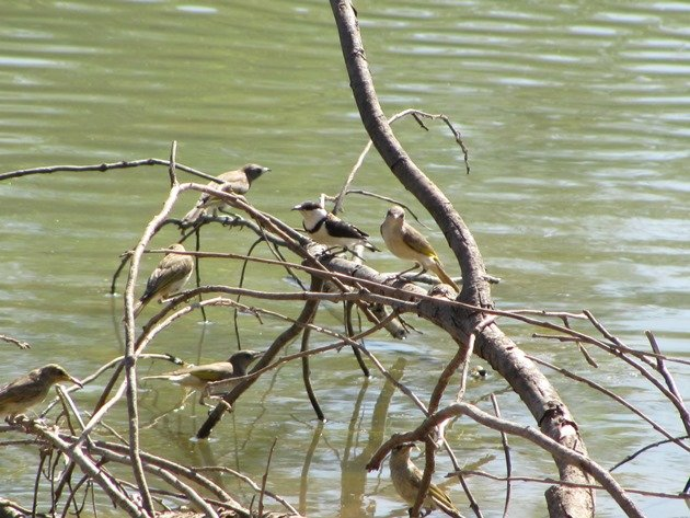 Banded Honeyeater & Rufous-throated Honeyeaters