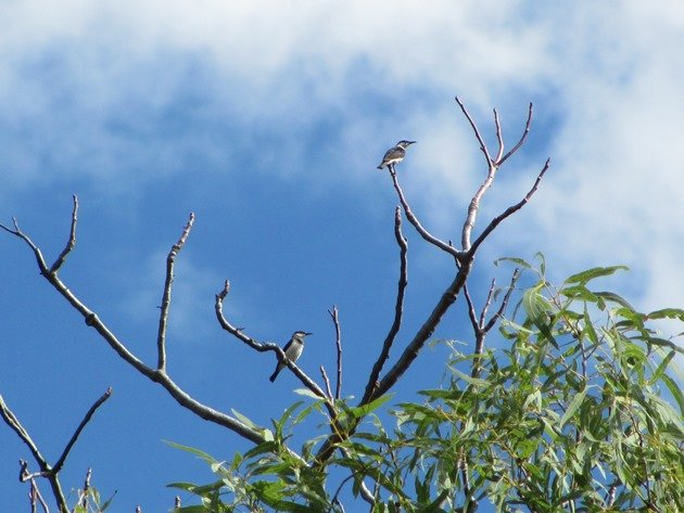 Banded Honeyeaters