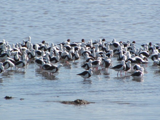 Banded Stilt & Red-necked Avocet (3)