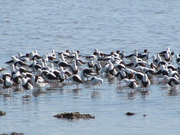 Banded Stilt & Red-necked Avocet (5)