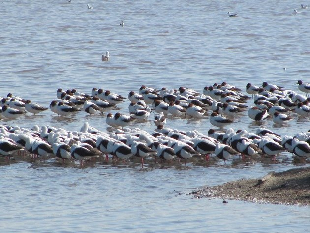 Banded Stilt & Red-necked Avocet