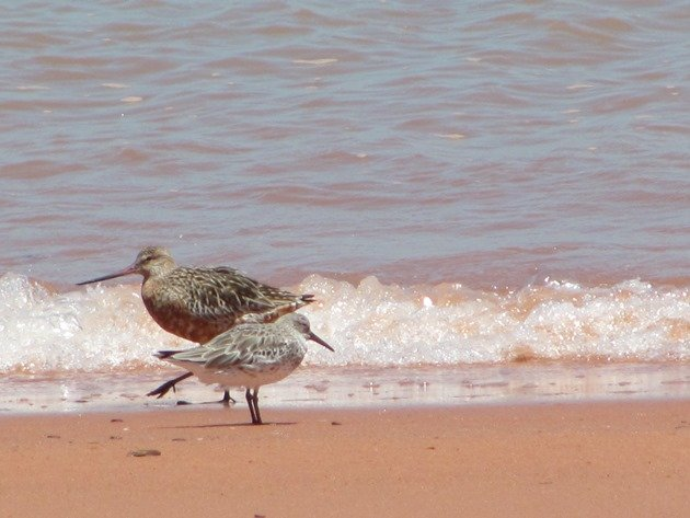 Bar-tailed Godwit & Great Knot