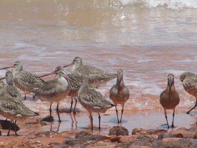 Bar-tailed Godwits (3)