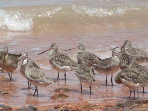 Bar-tailed Godwits (4)