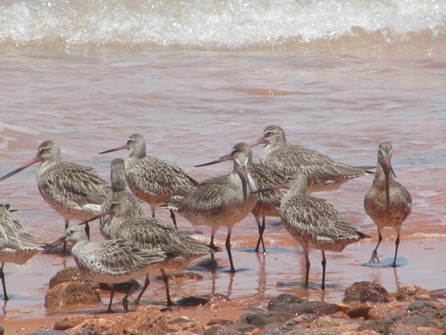 Bar-tailed Godwits & Great Knot
