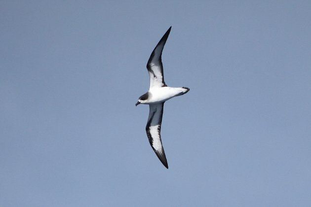 Barau's Petrel by Adam Riley